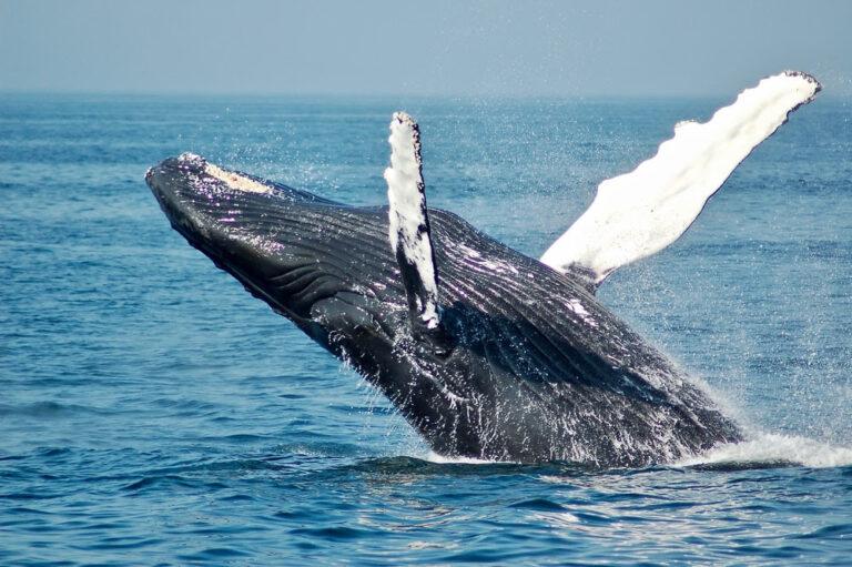 """L'environnement a un nouvel allie """" Les Baleines """""""