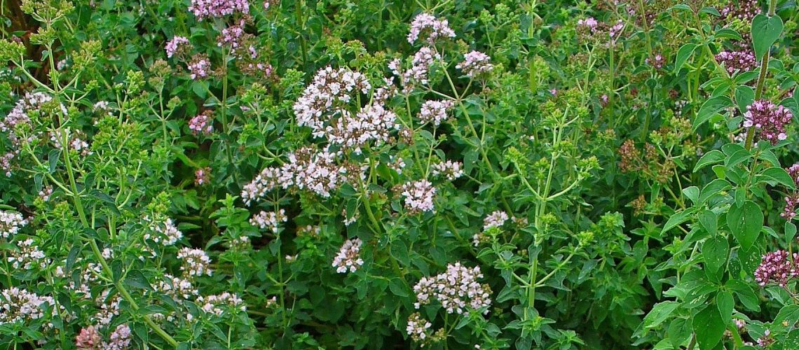 Oregano-plant-flowers-credit-wikimedia-H.zell-CC-BY-SA-3.0